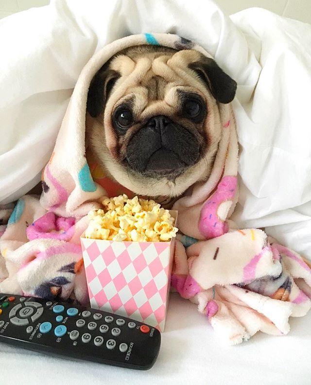 Anyone Up For A Movie Night Baby Pugs Pugs Cute Pugs