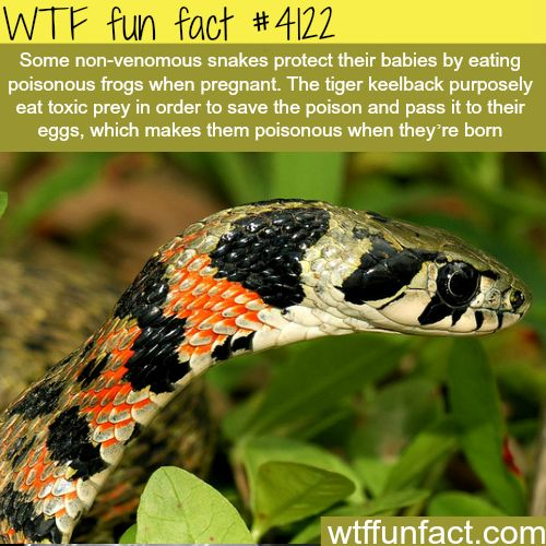 How some non-venomous snakes protect their eggs -  WTF fun facts
