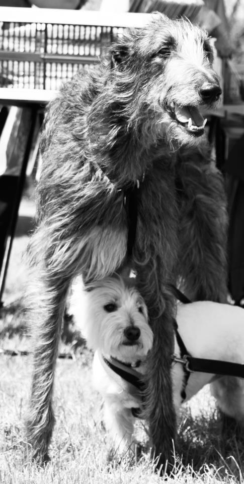 Grace the Scottish Deerhound with Ella, the West Highland terrier.