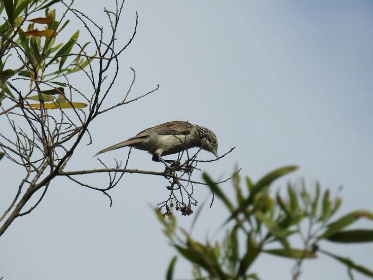 Striped Honeyeater, Oxley