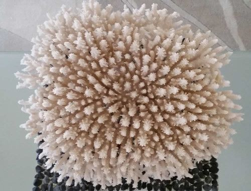 Natural sea coral for Australian coastal decor.  Huge piece of plate coral.