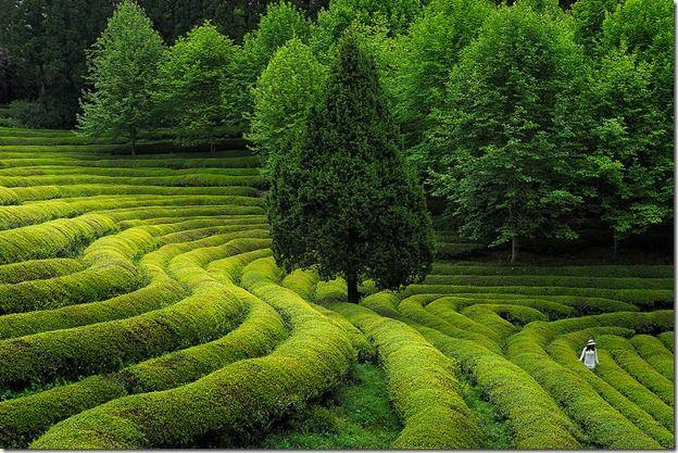 Boseong, Korea...beautiful green tea fields
