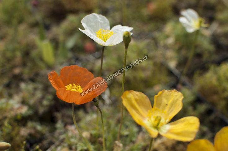 Papaver alpinum - mák alpínský