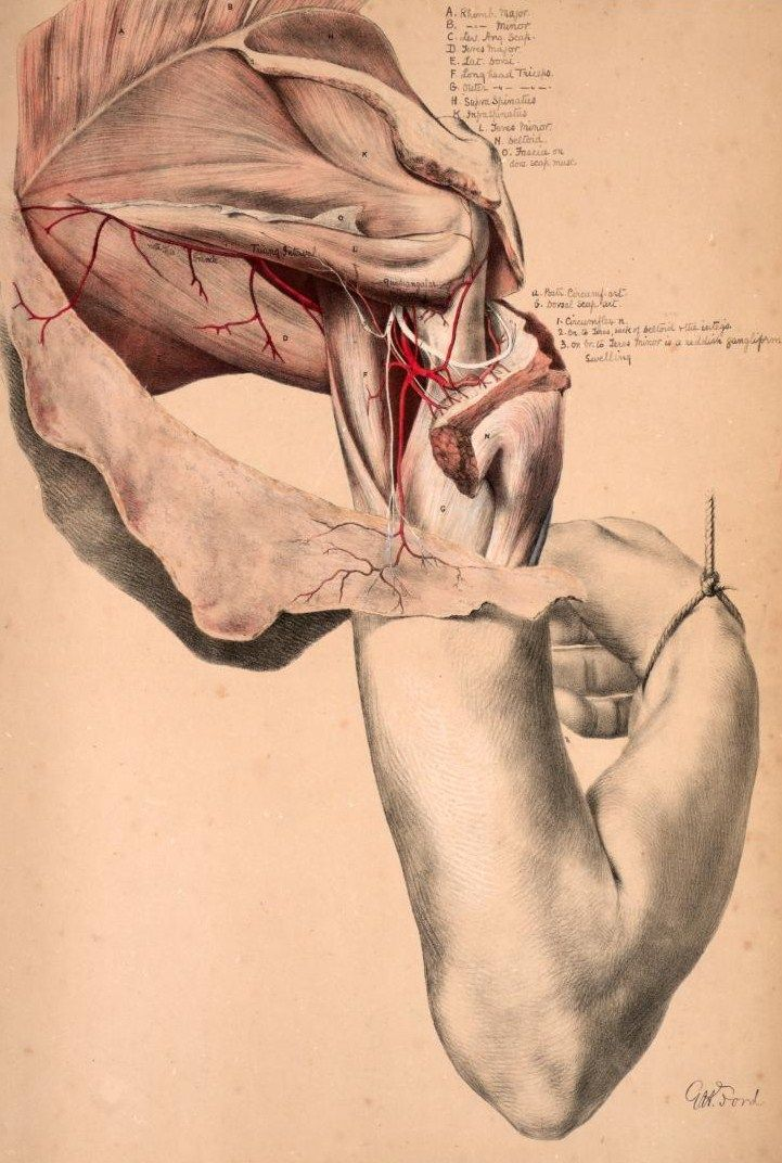 Deep dissection of the shoulder with the muscles divided and reflected to show the spine of scapula, humerus, axillary nerve and posterior circumflex humeral artery. By George Henry Ford from 'Illustrations of Dissections' by George Viner Ellis, 1867. ~~ www.facebook.com/TheIrregularAnatomist ~~ www.twitter.com/Irr_Anatomist