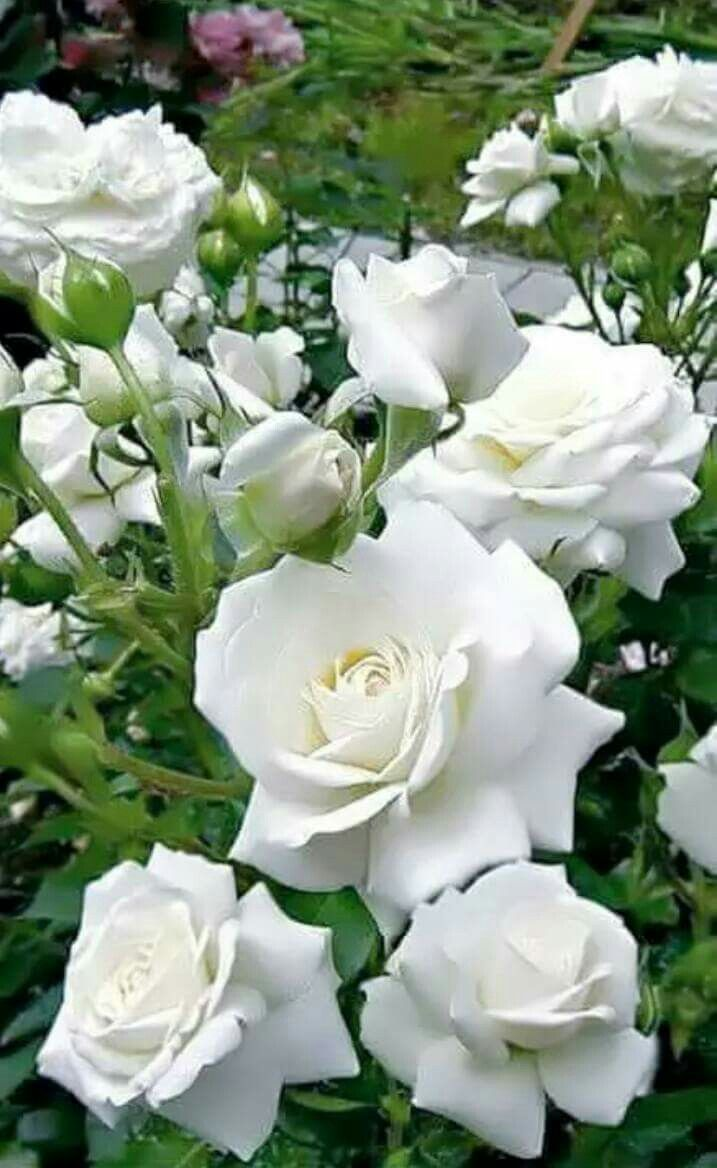 Roses & Roses