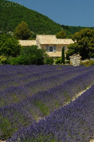Lavender field in Banon, Provence, France