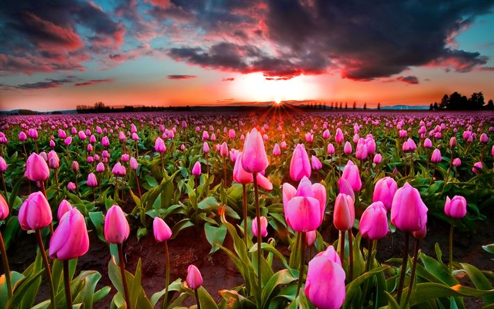 Download wallpapers Pink tulips, sunset, wild flowers, tulips, Holland