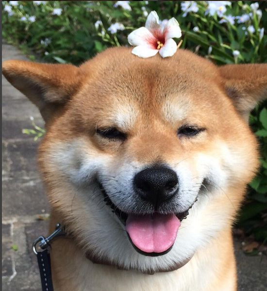 Shiba Inu Berry loves to be beautiful! Doge Shibe