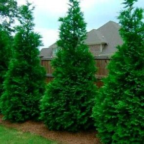 15.00 for Justin  Thuja Green Giant
