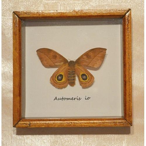 Сатурния ИО бабочка в рамке - Аутомерис ИО