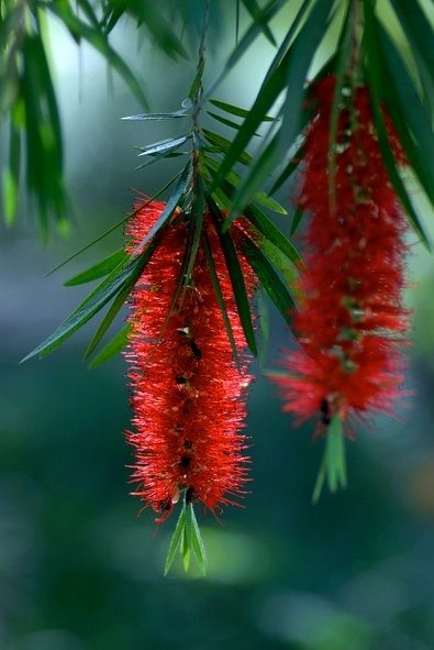weeping bottlebrush. During our circumnavigation, I saw these bottlebrushes all over Australia. Love them!