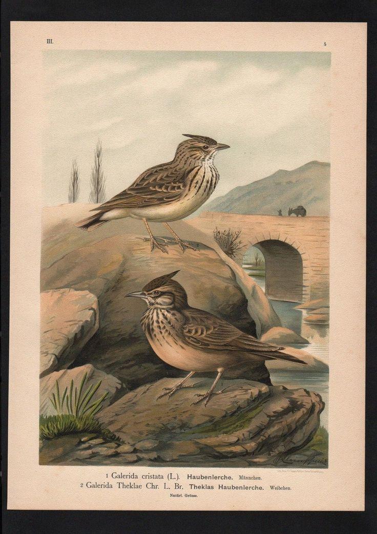 1880 - Haubenlerche Lerche lark Vogel Vögel bird birds Farblithographie Naumann | eBay