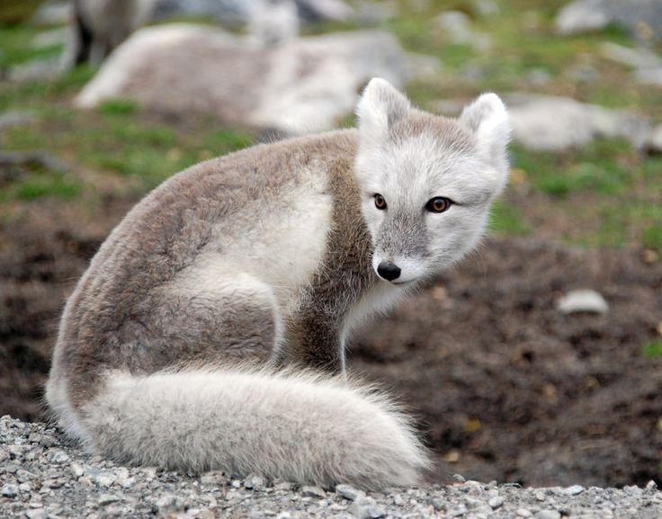 Tundra Arctic Fox In Summer The Arctic Fox ...