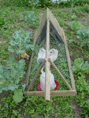 chicken tractor for between garden rows!