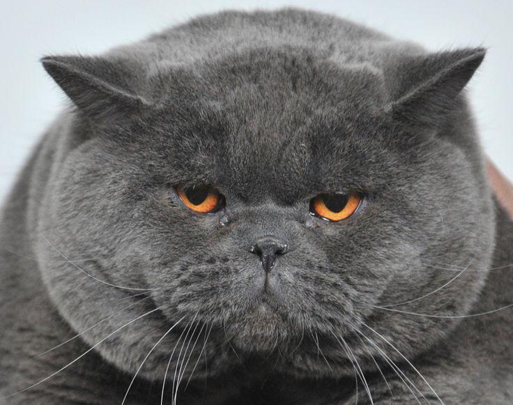 O pisică din rasa British Shorthair este prezentată în cadrul unei expoziţii feline desfăşurate în capitala Kârgâzstanului, Bişkek, sâmbătă, 16 februarie 2013. (  Vyacheslav Oseledko / AFP  ) - See more at: http://zoom.mediafax.ro/news/cats-in-the-news-12976632#sthash.kVUHaMTi.dpuf