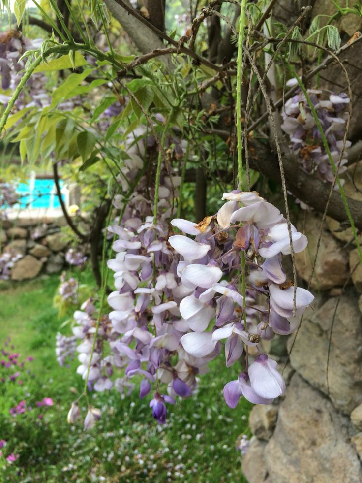 Flor de la pluma