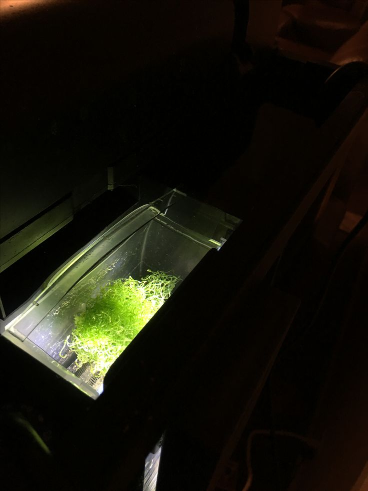 In-tank refugium. Chaeto algae in the top compartment, lit in a reverse daylight cycle with a compact nano-glo LED. Water filters through the chaeto, the carbon, and the mechanical sponge before the pumps. Pods will grow in the chaeto and enter the water column, while the refugium itself stabilizes PH, O2, and reduces phosphates, nitrates, and nitrites.