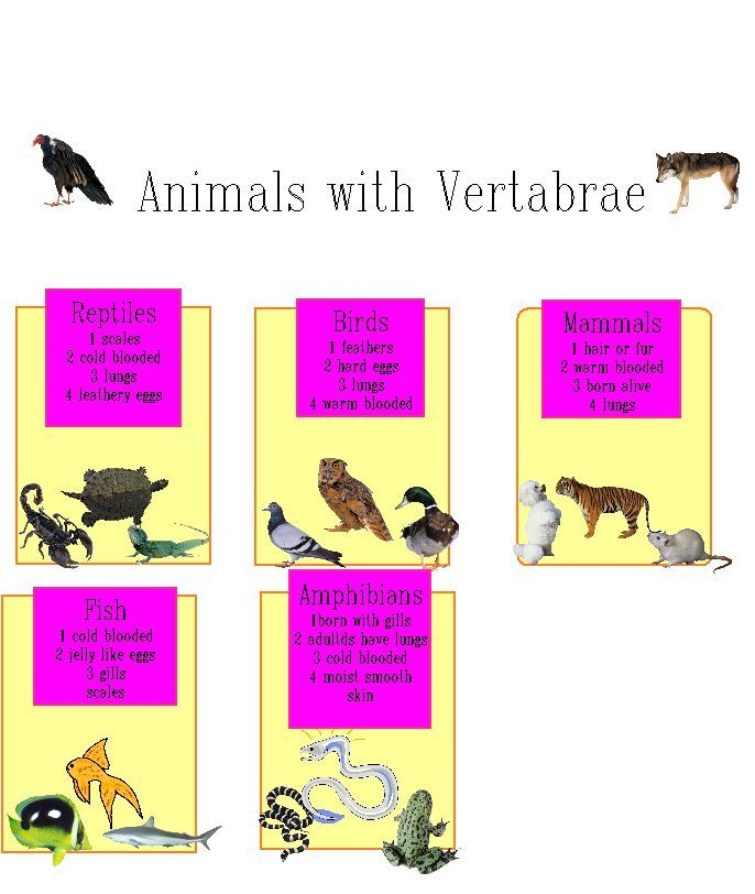 vertebrates project Delicious classification: vertebrates and invertebrates (12 ratings) fourth grade students learn about classifying animals into groups, and they begin by classifying the vertebrates (animals with backbones) and the invertebrates (animals with no backbones.