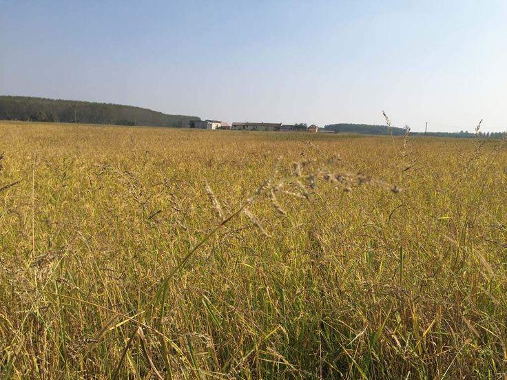 Coltivazione riso biologico Cascina Bosco