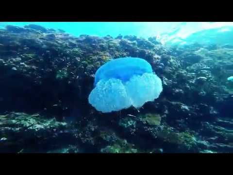 Jellyfish, Fiji - YouTube