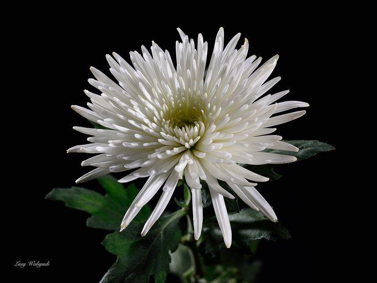 https://flic.kr/p/qRc4wG | Chrysanthemum