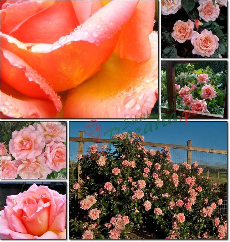 róże pnące Compassion łososiowe