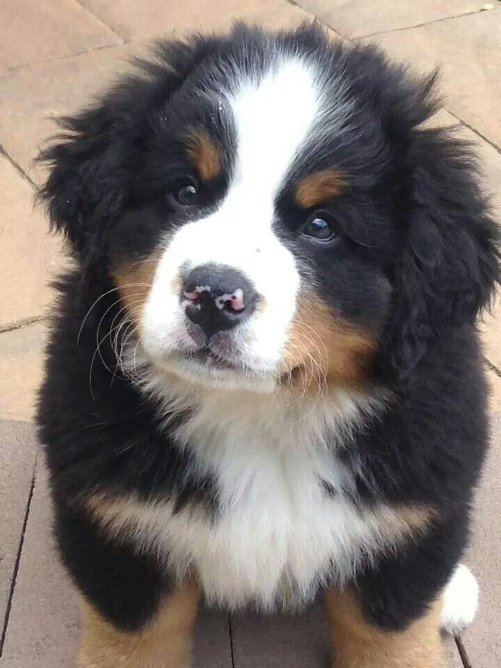 Awwwwww...Bernese Mountain Dog Puppy--Me want, along with the Swiss Chalet we are going to live in. <3