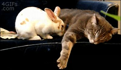 Cat and Rabbit cute animals rabbit cat cats adorable animal kittens pets gifs kitten gif bunny funny animals