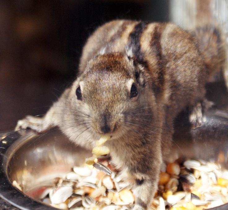 Tamiop eekhoorn Eekhoorn, Dieren