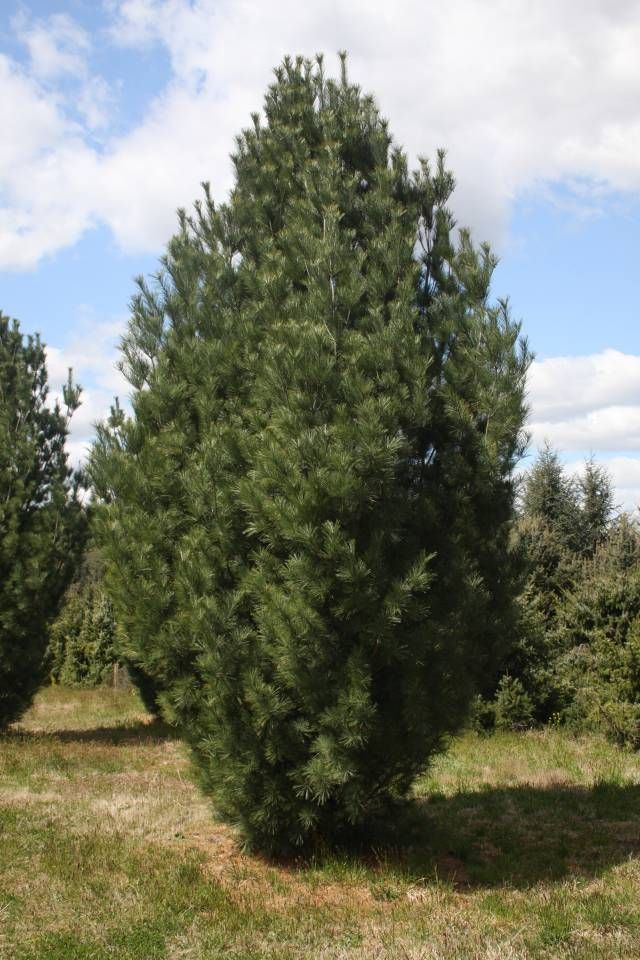 Best images about evergreen trees on pinterest