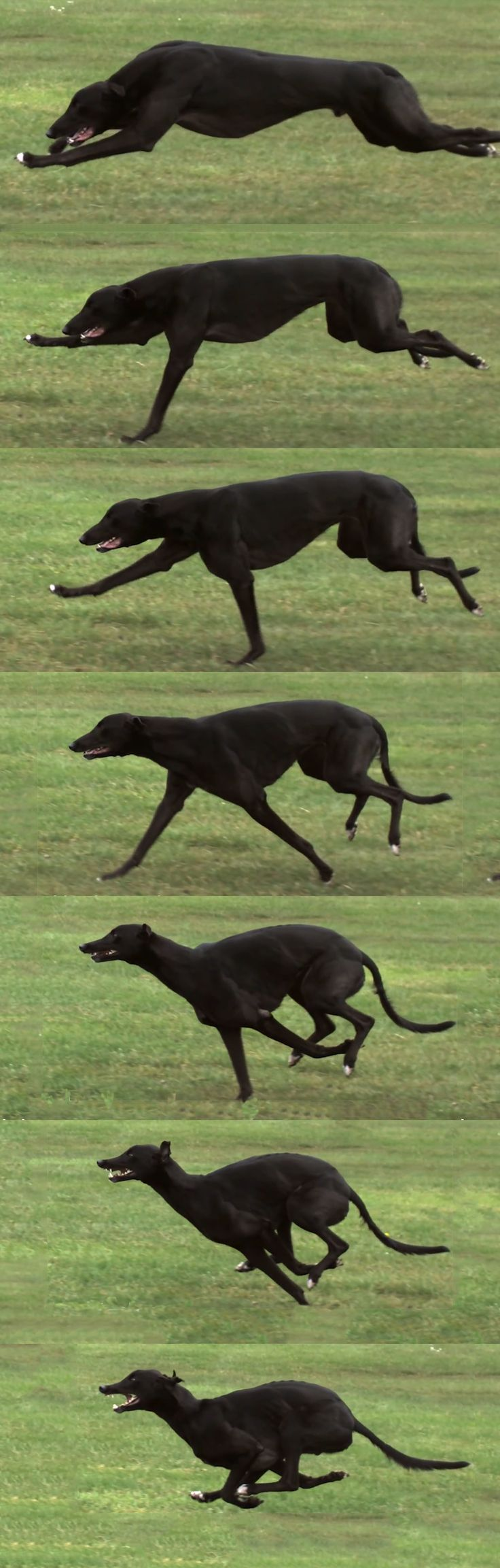Greyhound run - This shows the grey's double suspension gallop, where all 4 feet are off the ground 2 times during a full stride. This is done when he's stretched out and tucked. Click link to watch a greyt video comparing Cheetah/Greyhound running. http://youtu.be/jc8Hno4M0Qs