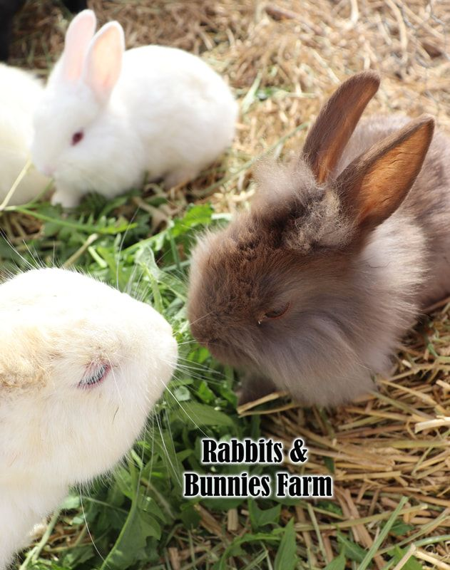 Rabbits And Bunnies For Sale Pet Rabbits Near Me Pet Bunny Farm Bunnies Rabbits For Adoption Rabbits Inland In 2020 Rabbits For Sale Pet Rabbit Pet Rabbits For Sale