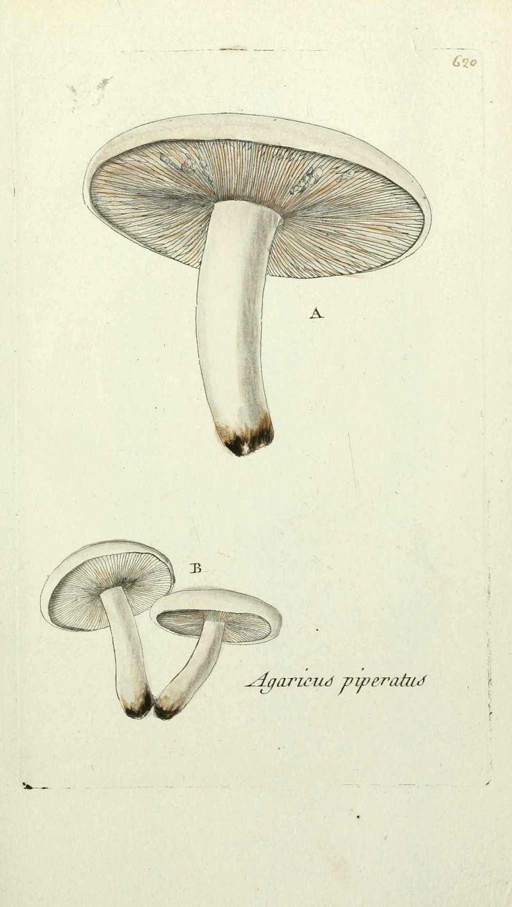 img/gravures anciennes de plantes et fleurs/lactaire poivre - lactarius ( agaricus ) piperatus ( champignon laiteux ).jpg
