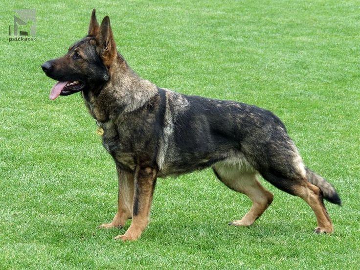 German Shepherd Dog - Afra Luansport| Luansport