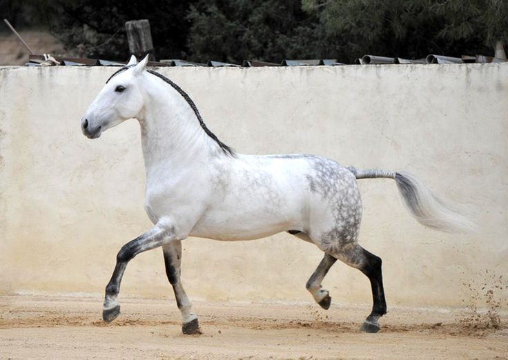 Light Gray Horse | 321 best images about Caballos Lusitanos on Pinterest