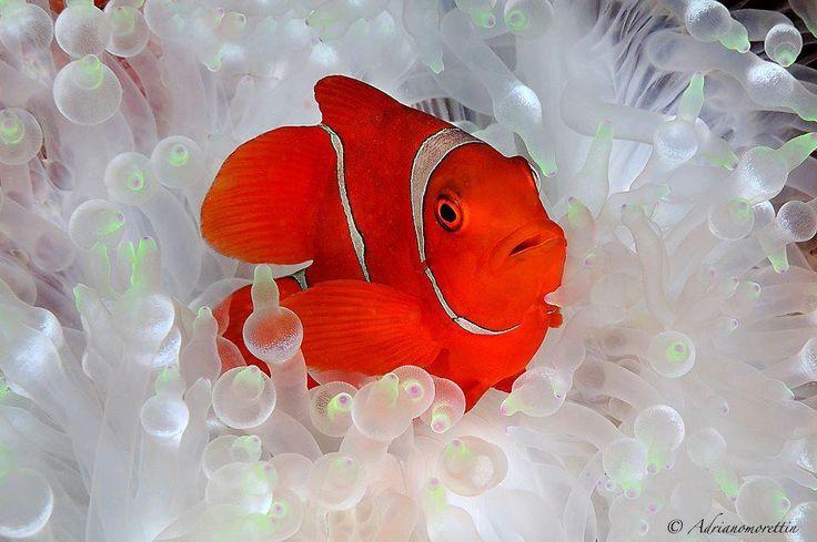 Wonderful Anemonefish striking a pose.