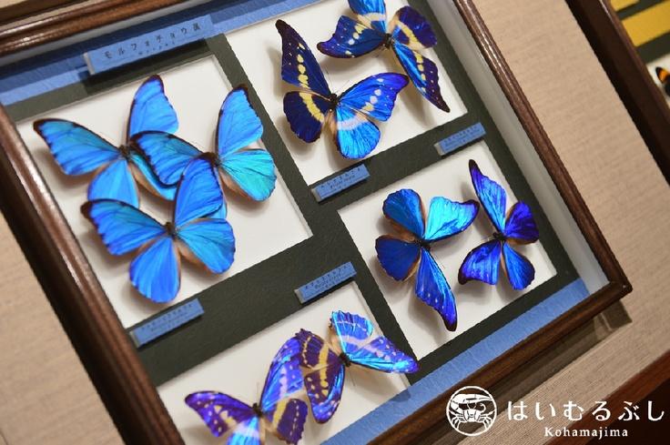 2012年7月にオープンした名和昆虫博物館はいむるぶし分室。  八重山の珍しい昆虫や色鮮やかな昆虫など昆虫標本を展示しております。