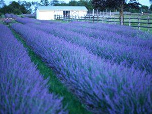Lavender Phenomenal with its silvery foliage on drought proof plant!
