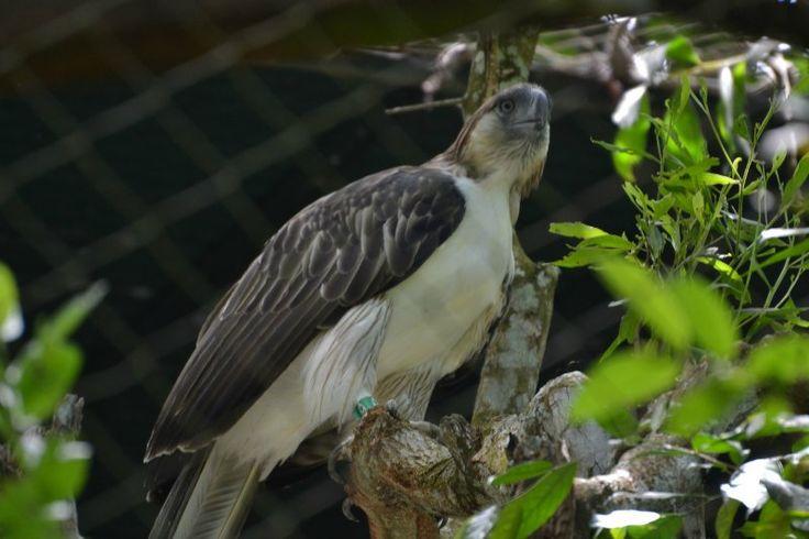 Phillipine Eagle - Large Bird of Prey #birds #nature
