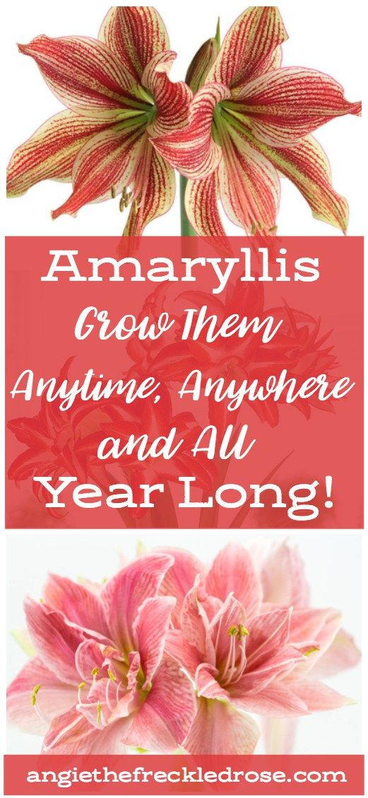 Amaryllis Anytime Anywhere Angie The Freckled Rose Amaryllis Flowers Amaryllis Popular Holiday Gifts