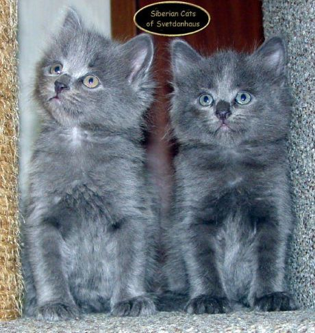 hypoallergenic cats for sale | ... , trainable, and hypoallergenic traditional Siberian cats and kittens