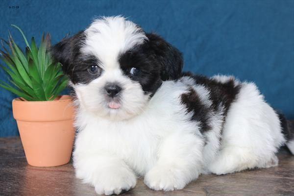 Petland Overland Park Has Shih Tzu Puppies For Sale Check Out All
