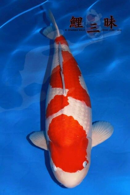 32 best kohaku koi images on pinterest kohaku koi carp for Koi kohaku japanese