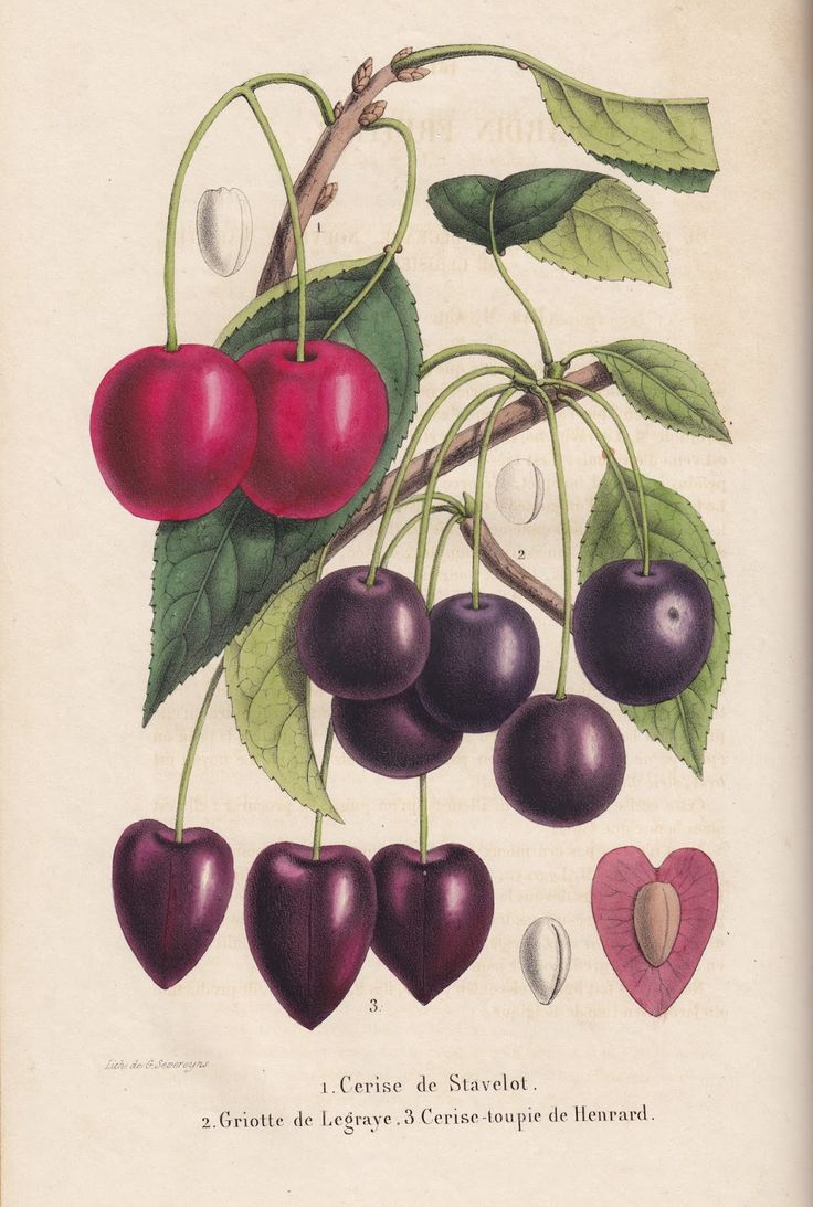 Cherry 'Cerise de Stavelot' and 'Griot de Legraye' and 'Cerise-toupie de Henrard' - Illustration from old Belgian book, 'Belgique horticole' by Charles Morren Liège, Tome 1st (1851)