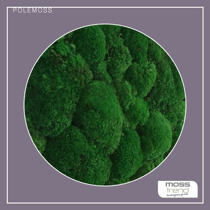 Zielone #ściany POLEMOSS - włoskiej marki MOSS TREND. Dostępny w BandIt Design. www.banditdesign.pl  #mech #zieloneściany #interior #aranzacja #aranzacjawnetrz #ballmoss #chrobotek