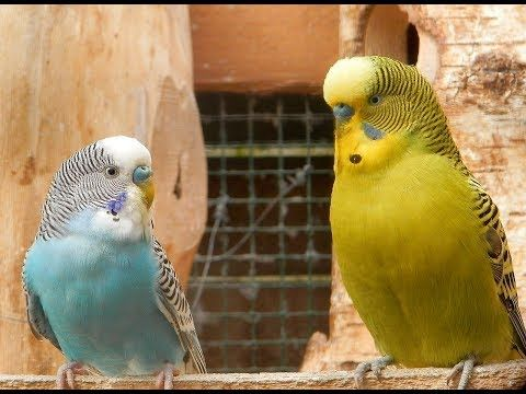 Hot Budgies Crazy Song Parakeets Singing Reduce stress blood pressure heart disorder hypertension - http://LIFEWAYSVILLAGE.COM/stress-relief/hot-budgies-crazy-song-parakeets-singing-reduce-stress-blood-pressure-heart-disorder-hypertension/