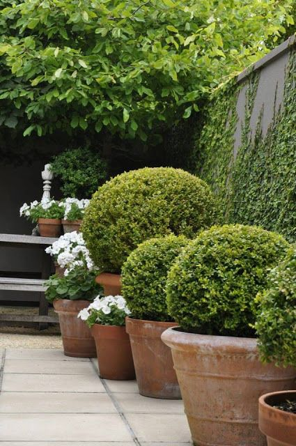 Boxwood in Terracotta Pots                                                                                                                                                                                 Mais