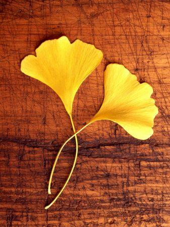 Autumn Gingko leaves--my favorite!