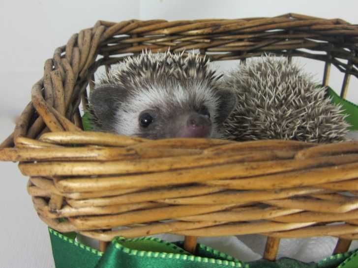 African Pygmy Hedgehogs. : Hedgehogs For Sale : Los Angeles, California