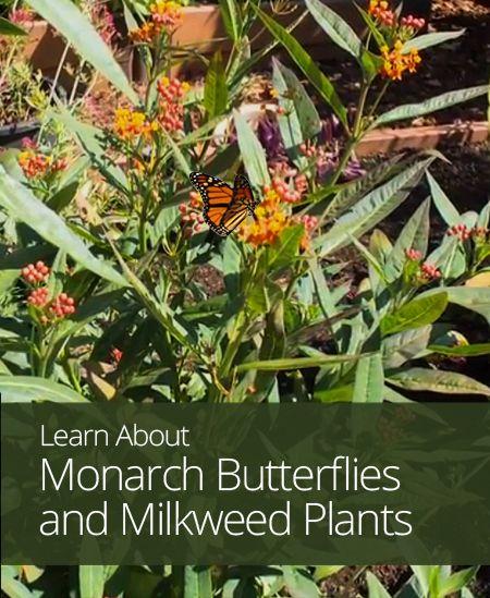 Monarch Butterflies and Milkweed Plants